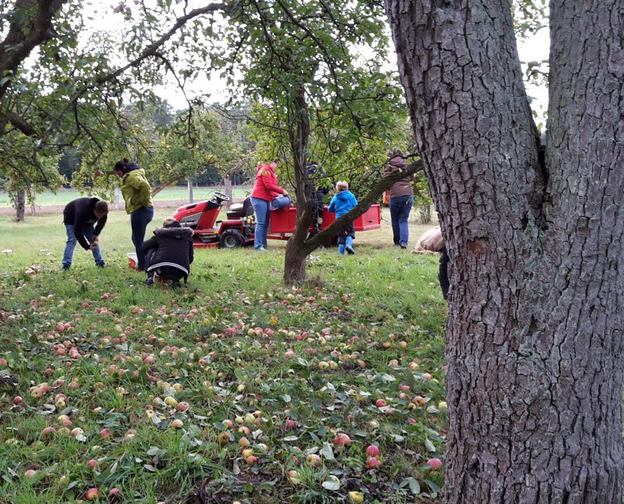 Erwachsene und Kinder sammeln Äpfel von der Wiese