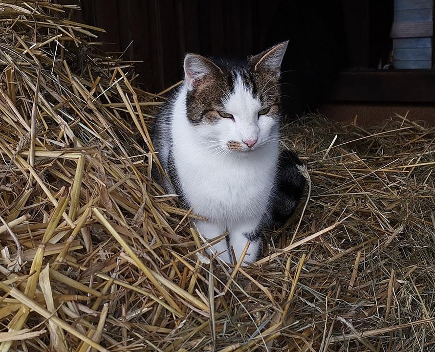Katze im Stroh auf dem Ferienhof Kunzog in Gartow