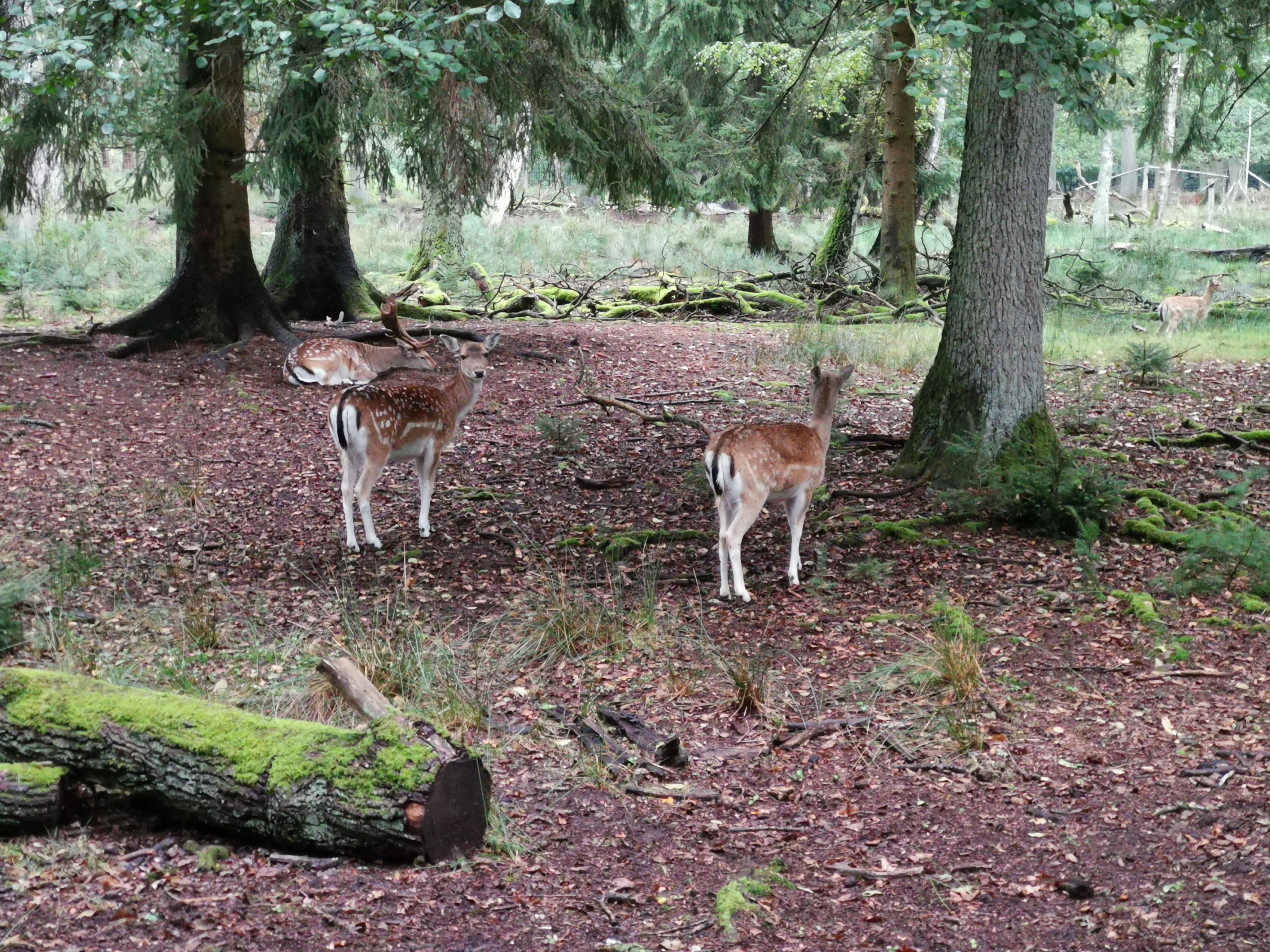 3 stück Damwild im wildgatter in Gartow